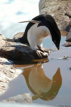 A curious Adelie Penguin admiring its own reflection
