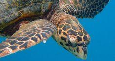 Hawksbill Turtle at Helengeli Island resort Maldives taken by scuba diver Sue Hutchings. Psychedelic Colors, Maldives Resort, Island Resort, Outdoor Pool, Scuba Diving, Underwater, Turtle, Heaven, Romantic