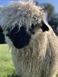 The Swiss Valais sheep are very popular with visitors to Moorparks Holiday Cottages. Sheep With Horns, Animals With Horns, Cute Wild Animals, Farm Animals, Animals Beautiful, Baby Sheep, Cute Sheep, Lamb Pictures, Animal Pictures
