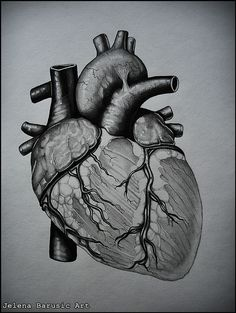 The anatomy of the Human Heart.