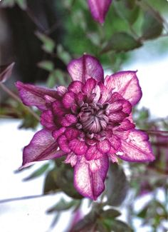 """Clematis Cassis - One of the tree climbing choices for this side of the grove. Blooms 6-8"""", height 6-8'. Prefers sun to part shade. Blooms May to June & August to September."""