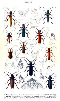 Die Käfer des Deutschen Reiches. (1908)