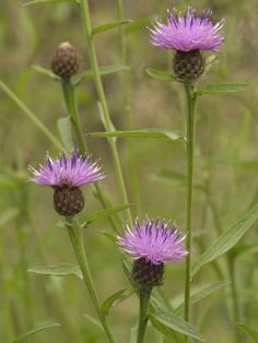 The knapweed genus is great for a whole bunch of Bs - bumblebees, butterflies, bees and birds #homesfornature