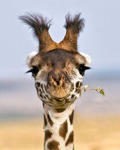 Frans de Waal - Public Page     GOOFY GIRAFFE  Maasai giraffe eating acacia by Jayanand Govindaray