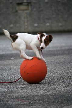 https://flic.kr/p/4LJkmn | circus dog!!Jack Russell Terriers | 摩天大聖裡面的那隻 The mask Jack Russell Terriers  This one is very special. He stand in the basketball all day long. And never let his brother to touch his toy. just like a circus boy~