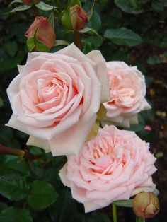 'Majestic' | Hybrid Tea Rose. Poulsen 2002