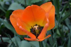 Tulppaani   Vesan viherpiperryskuvat – puutarha kukkii