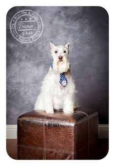 Truman - May 2 - White Mini Schnauzer