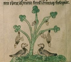 6 Geese aLaying (or growing on trees!) Medieval Manuscripts (@BLMedieval)   Twitter