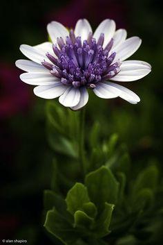 flowersgardenlove: African Daisy Beautiful gorgeous pretty flowers