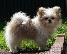 ♥ Shih Tzu, Pomeranian, Shiranian, Shihpom, Shi Poo, puppy