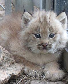 595: 猫好きな名無しさん 2017/06/20(火) 20:00:37 ID:Zy7unfrg0 ⋀♕⋀ コロラド州シャイアンマウンテン動物園で(₌◕⋏◕₌) カナダオオヤマネコの赤ちゃんが誕生~♪コロラド州のシャイアンマウンテン動物園でカナダオオヤマネコの赤ちゃんが4匹誕生しました。母