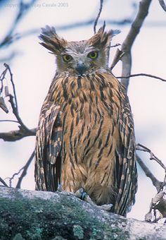 Tawny Fish Owl (Bubo flavipes) - Picture 1 in Bubo: flavipes - Location: Corbett Tiger Reserve, Uttaranchal, North India. Photo by Vijay Cavale.