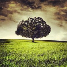 The Lone Tree In A Field Of Open Grass
