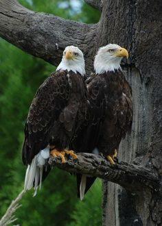 David Gunter | Bald eagles