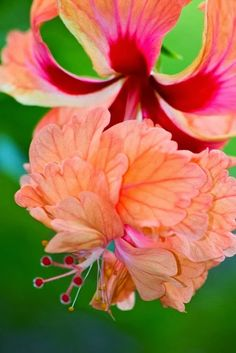 1405 best flowers pink red orange images on pinterest beautiful double hibiscus mightylinksfo