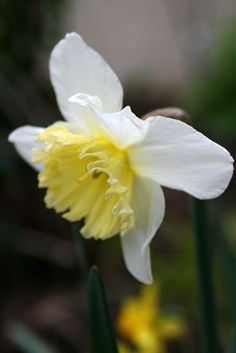 Daffodil, floral spring/ the wholesome flirt