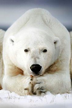 A polar bear. https://www.reddit.com/r/AnimalPorn/comments/2vv6hq/a_polar_bear_ursus_maritimus_in_canada/