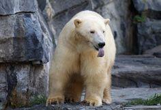 Meet Wolodja, Berlin's newest polar bear #animals #bears