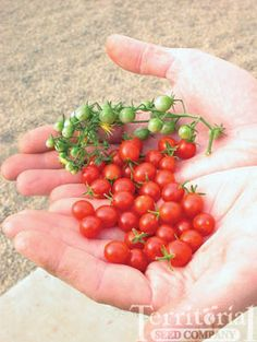Currant tomatoes have a lot of flavor in a tiny package - Sweet Pea Currant did well for us last year... actually they're a great tomato for a new gardener - disease resistant, vigorous and delicious! ==> theyarden.com