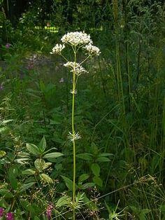 Rohtovirmajuuri, Valeriana officinalis - Kukkakasvit - LuontoPortti