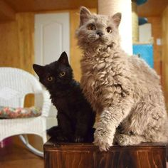 Melo et Peluche Selkirk Rex Selkirk Rex, Rex Cat, T Rex, Poodle, Animals And Pets, Kitty, Curly, Plushies, Cats