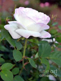 A Soft White and Pink Rose