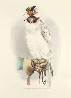 Schlegel Fauconnerie 03b Le Groenlandais. faucon blanc mue $195