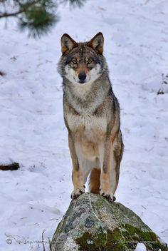 Proud Wolf