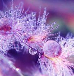 perpetual-inspiration.tumblr.com: Water Drops, Nature, Purple Passion, Dewdrops, Color Purple, Morning Dew, Rain Drops, Dew Drops