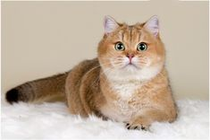 The Golden British Shorthair is popular among people because of its golden color. Humans and animals share an endless bond of love and affection. When a person has a pet at his home, then he will take care of small things regarding his pet. #GoldenBritish #BritishShorthair #BuyBritishShorthair Old Cats, Cats And Kittens, Large Cat Breeds, Buy A Kitten, British Shorthair Kittens, Dog Cat, Cute Animals, Golden Color, Gatos