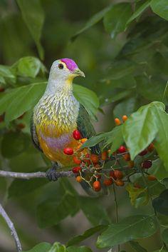 Rose-crowned Fruit Dove (Ptilinopus regina)