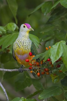 Rose-crowned Fruit Dove (Ptilinopus regina) found in the rainforest of Australia and the Islands of Indonesia