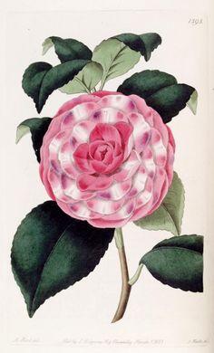 Camellia japonica; var. imbricata. Imbricated Japan Rose. Edwards's botanical register. v.17 London :James Ridgway,1829-1847. Biodivlibrary. BHL. Biodiversity Heritage Library