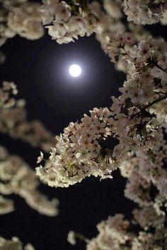 夜桜: yozakura on the moon Moon Pictures, Pretty Pictures, Beautiful Moon, Beautiful World, Simply Beautiful, Absolutely Gorgeous, Night Photography, Nature Photography, Shoot The Moon