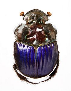 Phanaeus dejeani