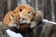 An affectionate little lick from one red fox to another. An affectionate little lick from one red fox to another. Cute Baby Animals, Animals And Pets, Funny Animals, Animals In Winter, Wild Animals, Beautiful Creatures, Animals Beautiful, Pet Fox, Fox Art