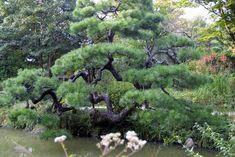 Trained/Pruned Japanese Pine Tree