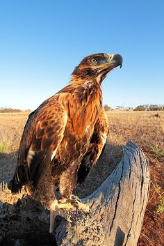 Wedge tailed eagle australia by Tim Phillips