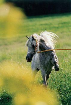 Arabian stallion Classic Rayan