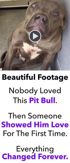 As dog lovers, it's very difficult for us to understand why someone would ever subject one of our beloved friends to the torture of dog fighting. That's exactly what happened to this beautiful pit bull. Thankfully, a handful of good people were able to re I Love Dogs, Puppy Love, Cute Dogs, Funny Dogs, Funny Animals, Cute Animals, Brave Animals, Animal Shelter, Animal Rescue