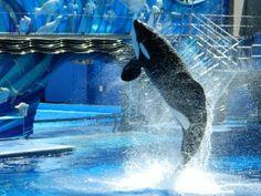 Shamu show at SeaWorld Orlando