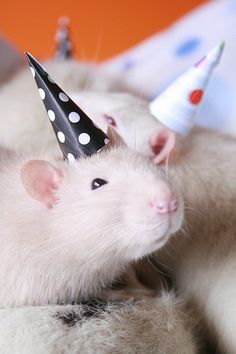 Ok, maybe rats are cute if they wear party hats.