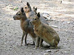 Le mara Bien que son physique nous rappelle celui des lièvres, le Mara est une espèce de rongeurs. Il vit essentiellement en Argentine et en Patagonie. Il est aujourd'hui menacé d'extinction.