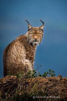 "Photo ""Lynx in the blue hour"" by Menno Dekker #500px"