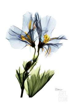 Gracious Geranium • Albert Koetsier