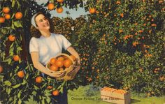 Vintage Florida Postcard - Orange Picking Time in Florida Cheesecake with Basket of Oranges in Grove Florida Vacation Spots, Visit Florida, Florida Travel, Vintage Florida, Old Florida, Photo Postcards, Vintage Postcards, Vintage Prints, Vintage Art