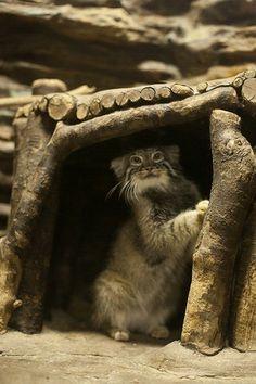 東京都・上野動物園にいるマヌルネコが可愛すぎる……! | マイナビニュース