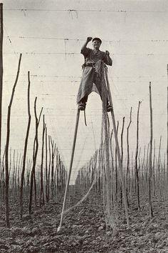 A hop garden in Kent (circa 1940)