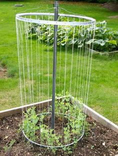 Bet you never thought to use a repurposed bicycle wheel trellis to grow tomatoes! Eventually, the vines will stretch all the way to the top.